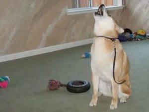 Почему воет собака и как с этим бороться?