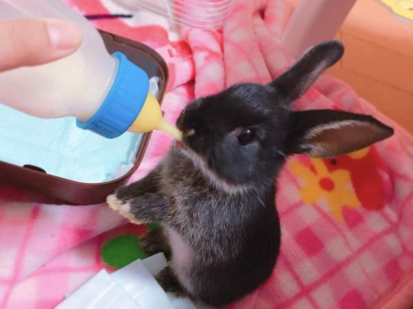 Как и чем кормить маленьких крольчат с крольчихой и без: рацион и нормы кормления