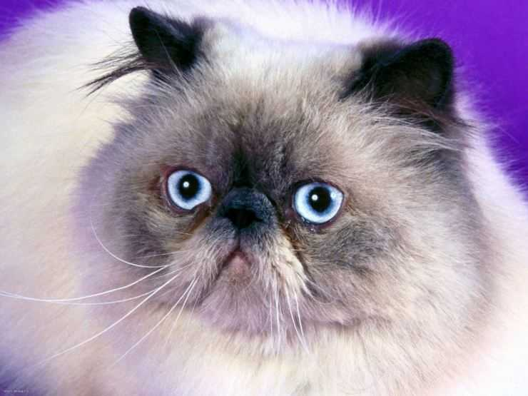 Бирманская кошка-бирма