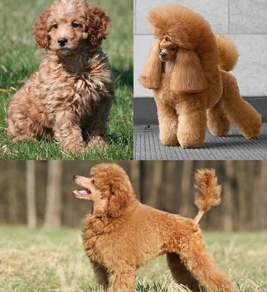 Той пудель, описание собаки, характерные данные породы и особенности вида