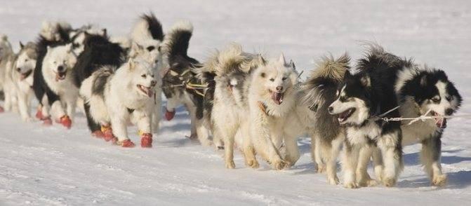 Якутская лайка: описание породы, уход и содержание, интересные факты