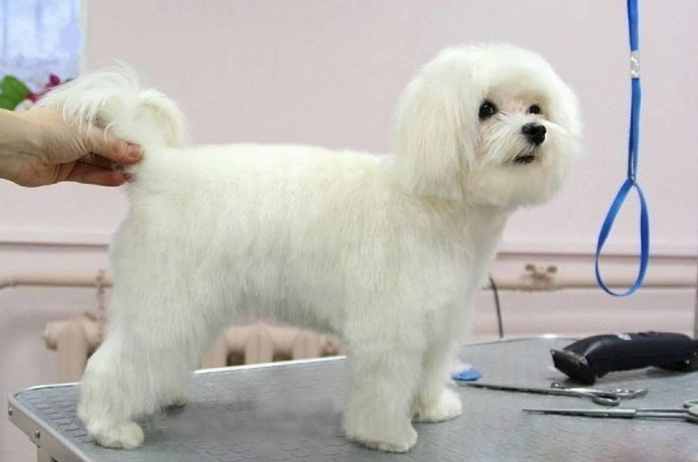 Мальтийская болонка: как можно подстричь собаку