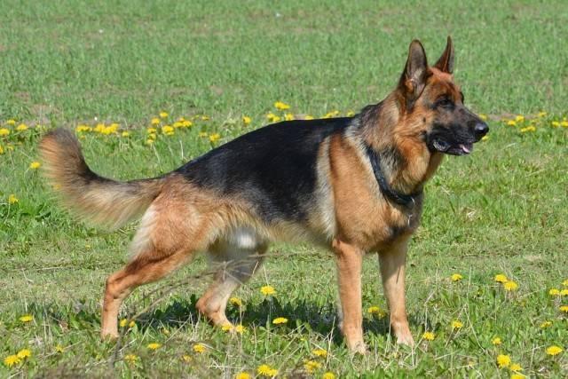Все о немецкой овчарке: характеристика, описание стандарта уход, и особенности содержания