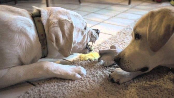 Рвота у собаки: что делать, причины, лечение, собаку рвет после еды желчью, с кровью | zoosecrets