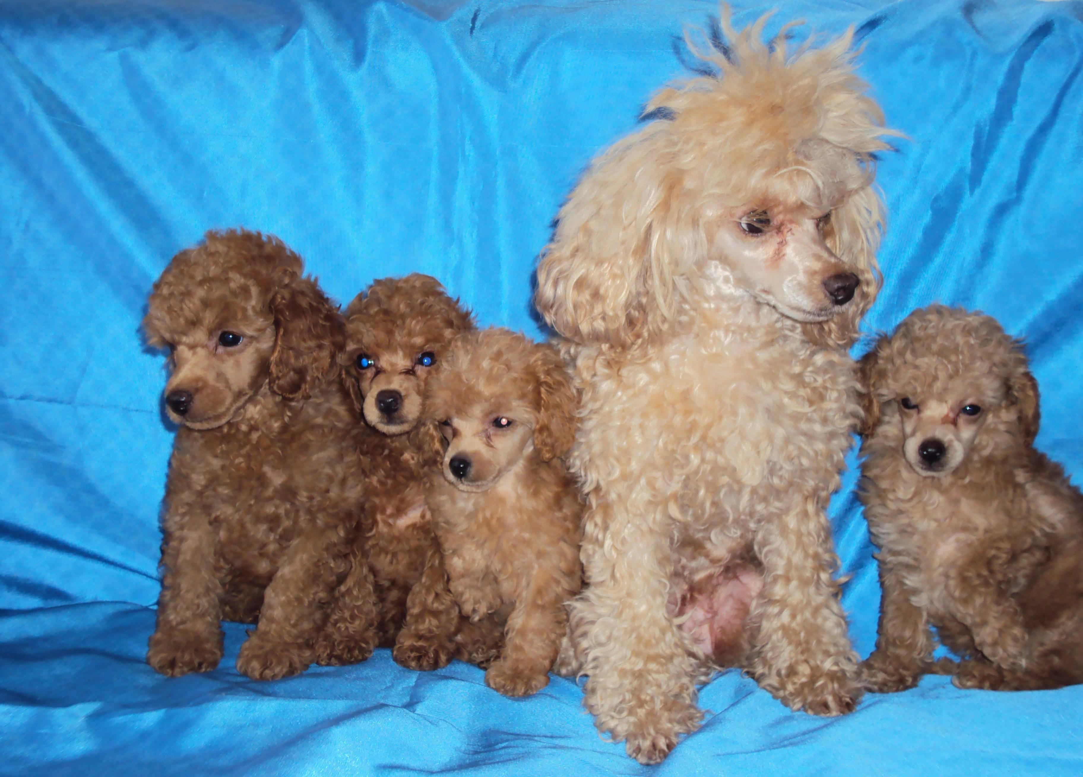 Маленькие пудели: породы самых крошечных собак и разница между ними. как они называются, чем той отличается от карликового и какую лучше завести?