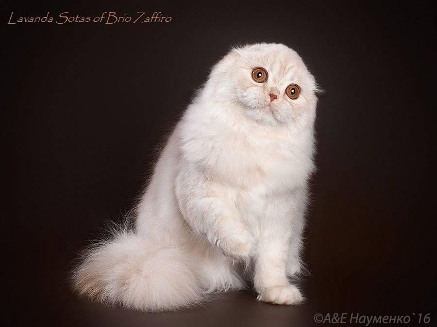 Хайленд-фолд: фото кошки, цена котенка, описание породы и характера