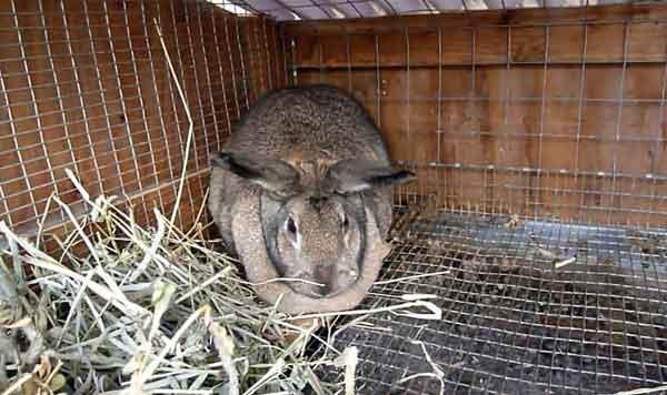 Охота у крольчих: как определить, как вызвать, сколько длится, причины отказа