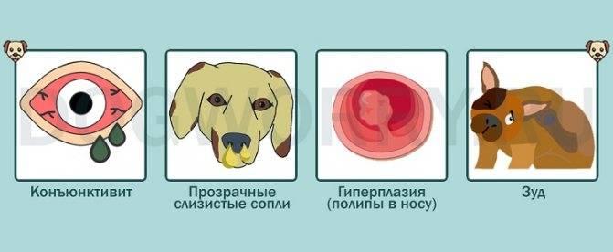 Почему у собаки появился насморк и она постоянно чихает и кашляет?