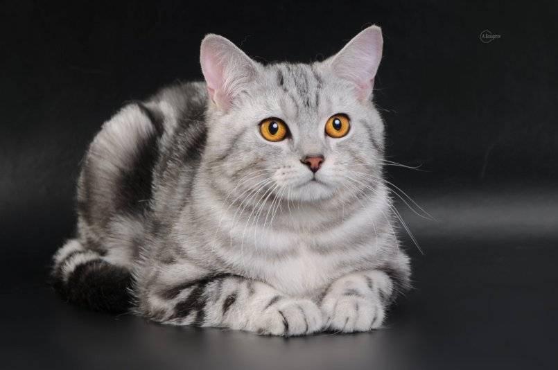 Скоттиш-страйт (63 фото): описание прямоухих котов шотландской породы, особенности характера котят. сколько длится беременность у кошек?