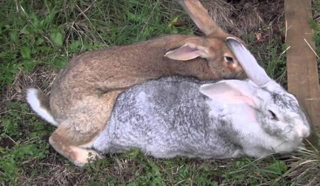 Почему не покрываются крольчихи: что сделать если не подпускают крола