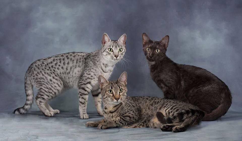 Египетская мау - описание породы и характер кошки