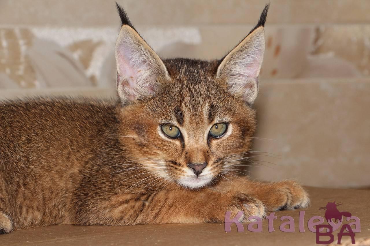 Кошка каракал: фото, описание породы, цены на котят и отзывы