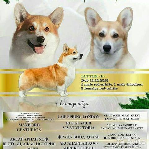 Описание породы собак вельш-корги-пемброк: характер, уход, предназначение