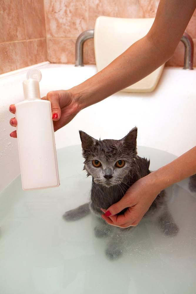 Можно ли кошку мыть обычным шампунем и что будет?