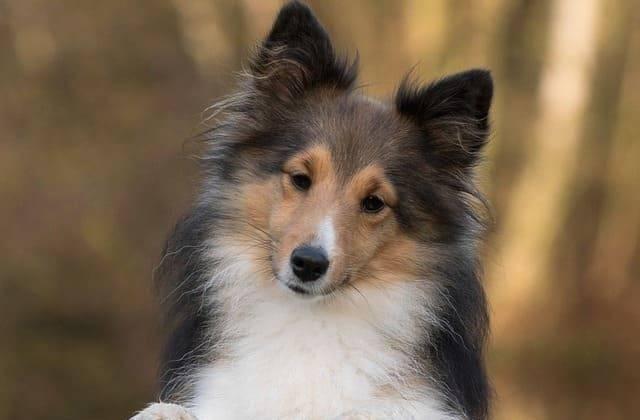 Шелти собака. описание, особенности, уход и цена породы шелти | sobakagav.ru