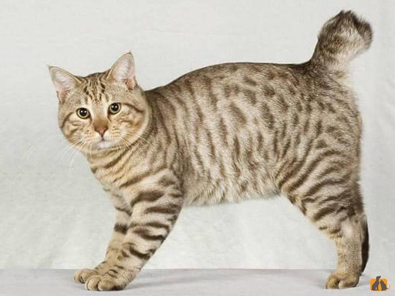 Кот бобтейл — описание породы и фото