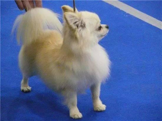 Щенки чихуахуа: как выглядит питомец в 2 месяца на фото, до какого возраста растут, какой уход требуется за новорожденной собакой