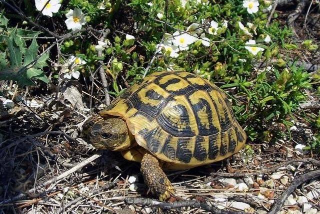 Сколько лет живут сухопутные черепахи в домашних условиях и в дикой природе