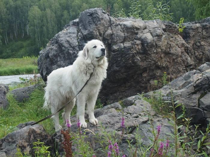 Горная пиренейская собака — описание породы и особенности ухода