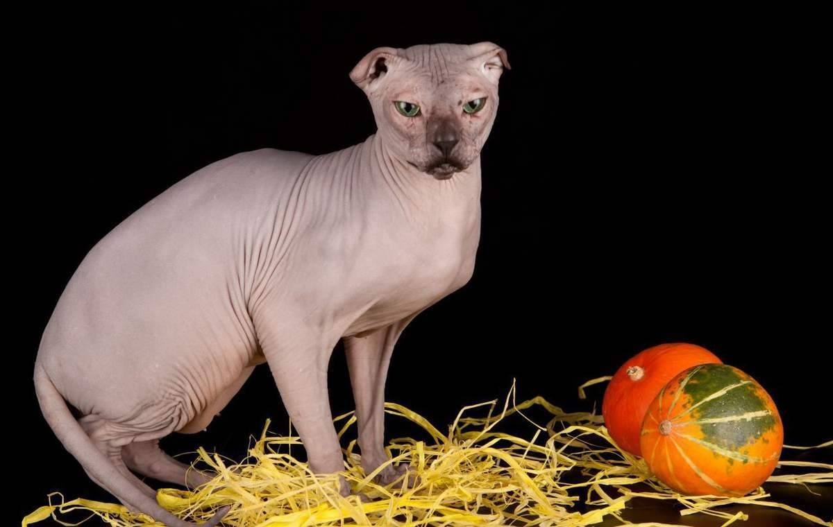 Украинский левкой - всё о породе кошки, уход и другие важные особенности + фото