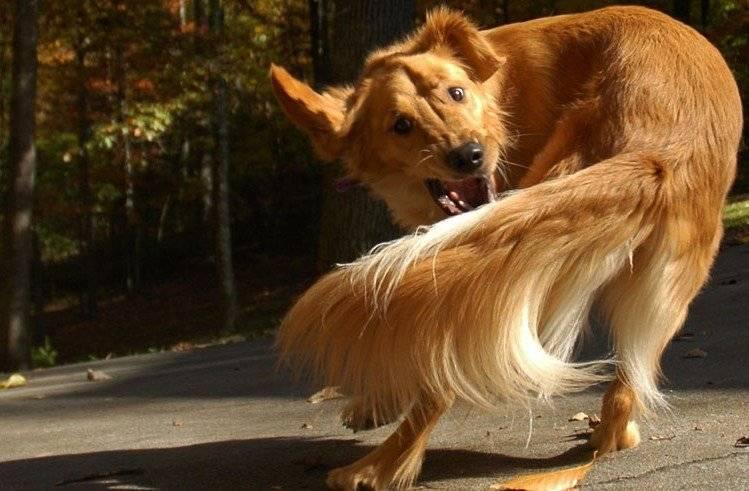 Почему щенок или собака гоняется за своим хвостом