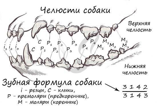 Зубная формула человека: схемы, нумерация, стандарты воз
