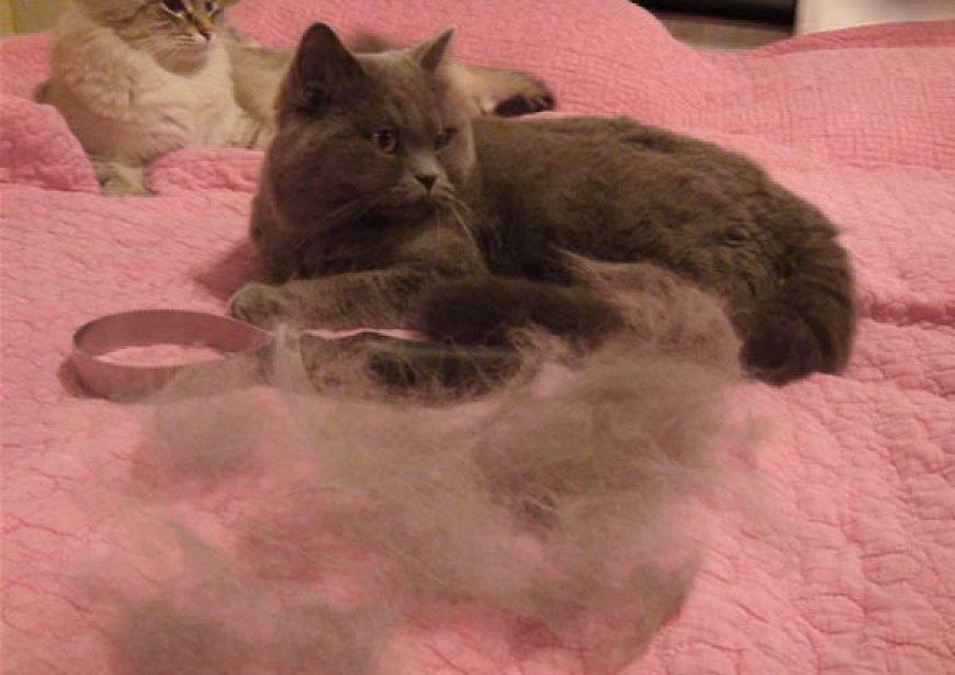 Все о линьке у кошек: причины, длительность, как уменьшить количество шерсти