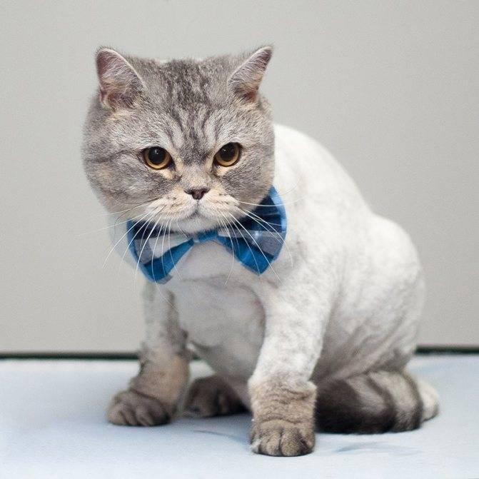 Стрижка британских котов: как правильно проводить процедуру в домашних условиях