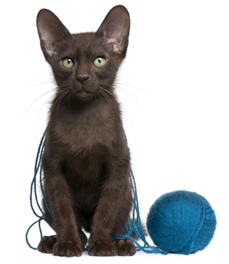 Стандарт породы кошек гавана браун. (havana brown)