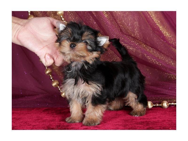 Как назвать йорка мальчика: красивые и популярные имена и клички для щенков, со значением. - mydognames