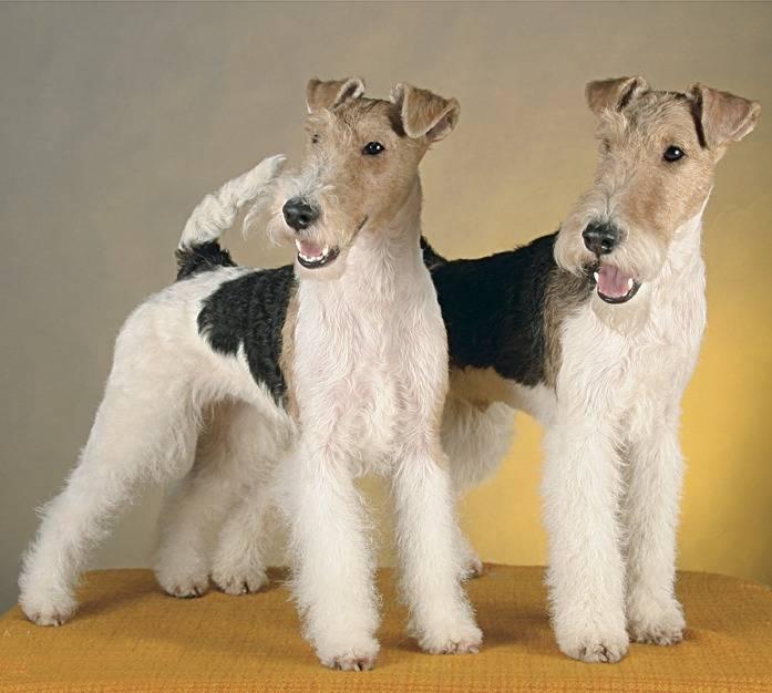 Порода собак жесткошерстный фокстерьер - описание, характер, характеристика, фото жесткошерстных фокстерьеров и видео, цена