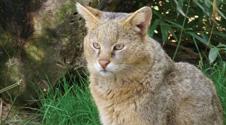 Любопытные факты о камышовом коте