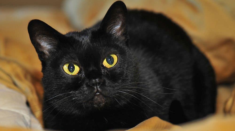10 пород черных кошек: с желтыми глазами, пушистые, с белой грудкой и лапками