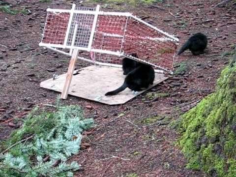 Как поймать кота домашнего и дикую кошку на улице