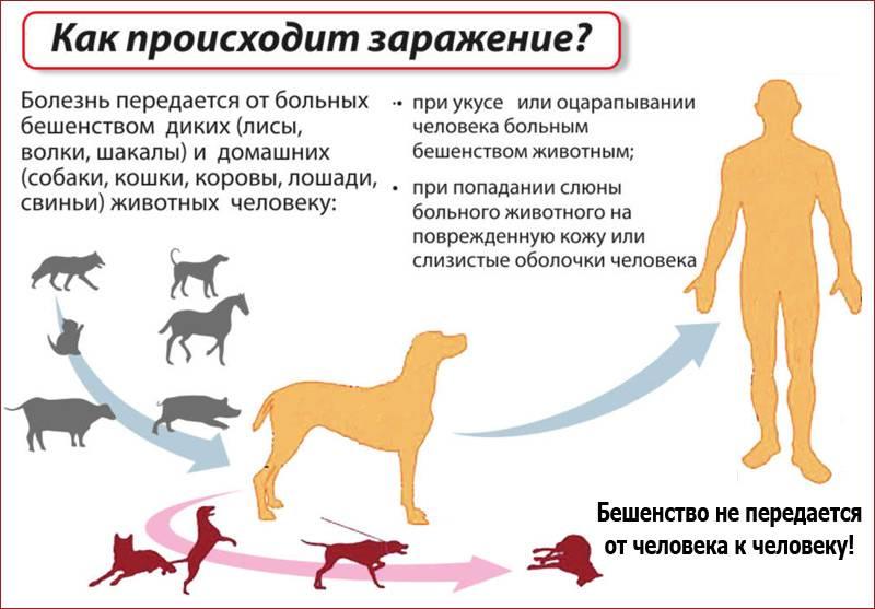 Бешенство у кошек: симптомы и признаки, опасность для человека
