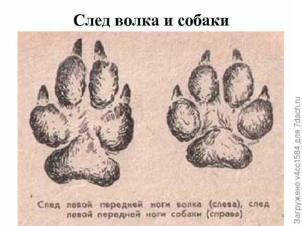Следы лисы, волка, собаки, ведмедя, зайца на снегу: фото и видео