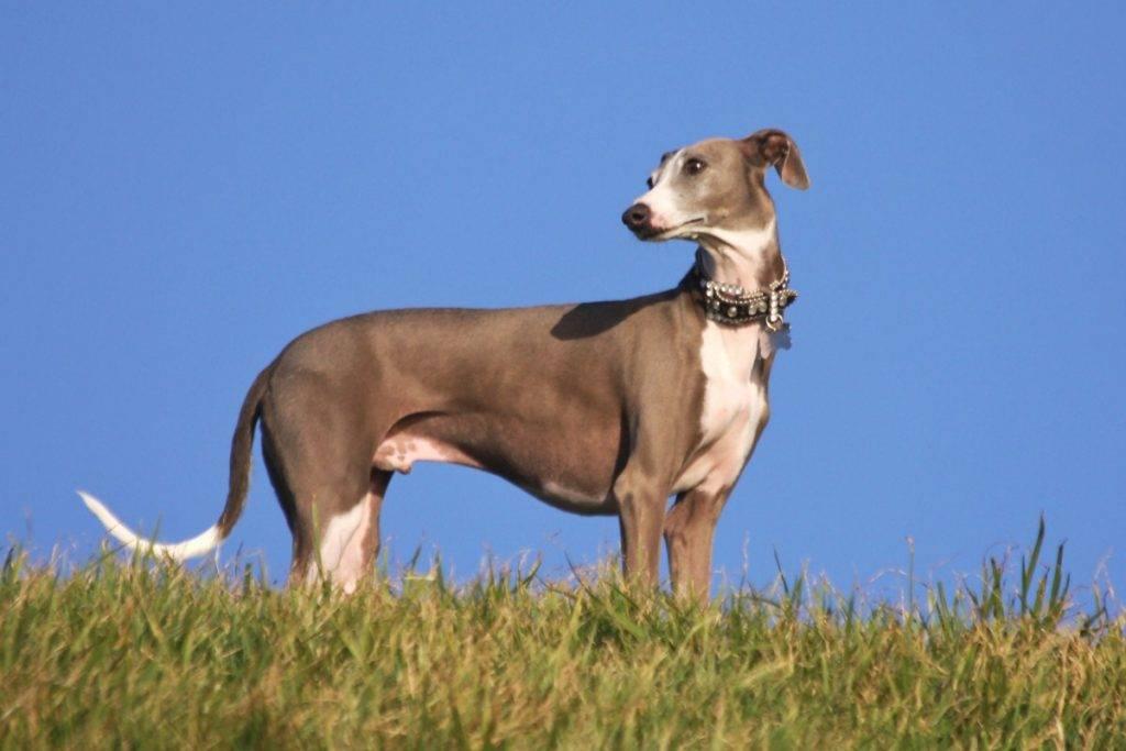 Собаки » породы » грейхаунд (английская борзая)