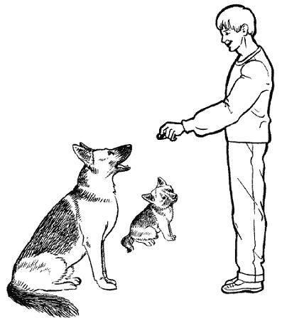 Как правильно дрессировать немецкую овчарку: правила, эффективные приемы, рекомендации кинологов