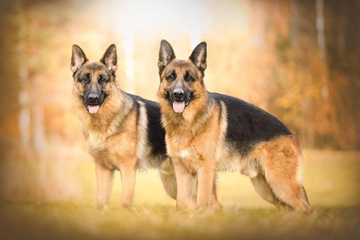 Немецкая овчарка: описание породы с фото, характеристика собаки