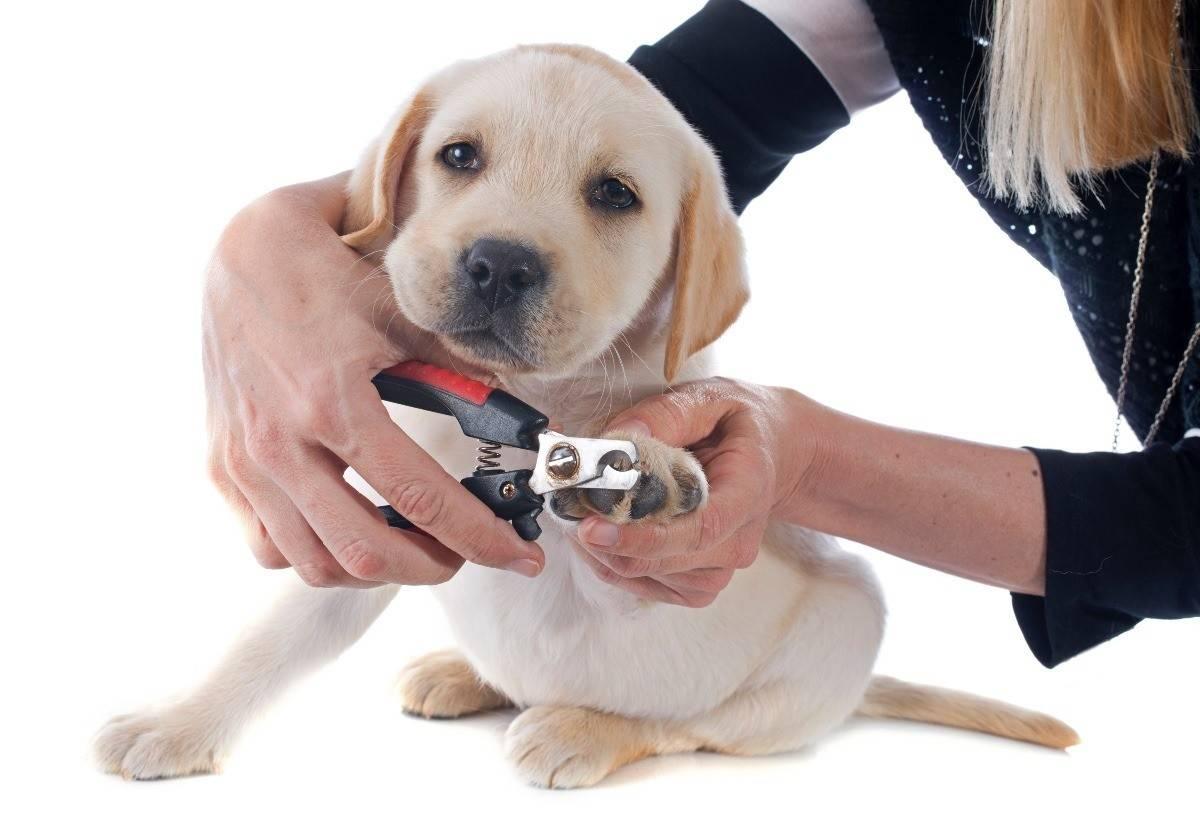 Как ухаживать за ротвейлером: содержание щенка и взросло собаки, особенности питания. гигиенические процедуры и правила выгула