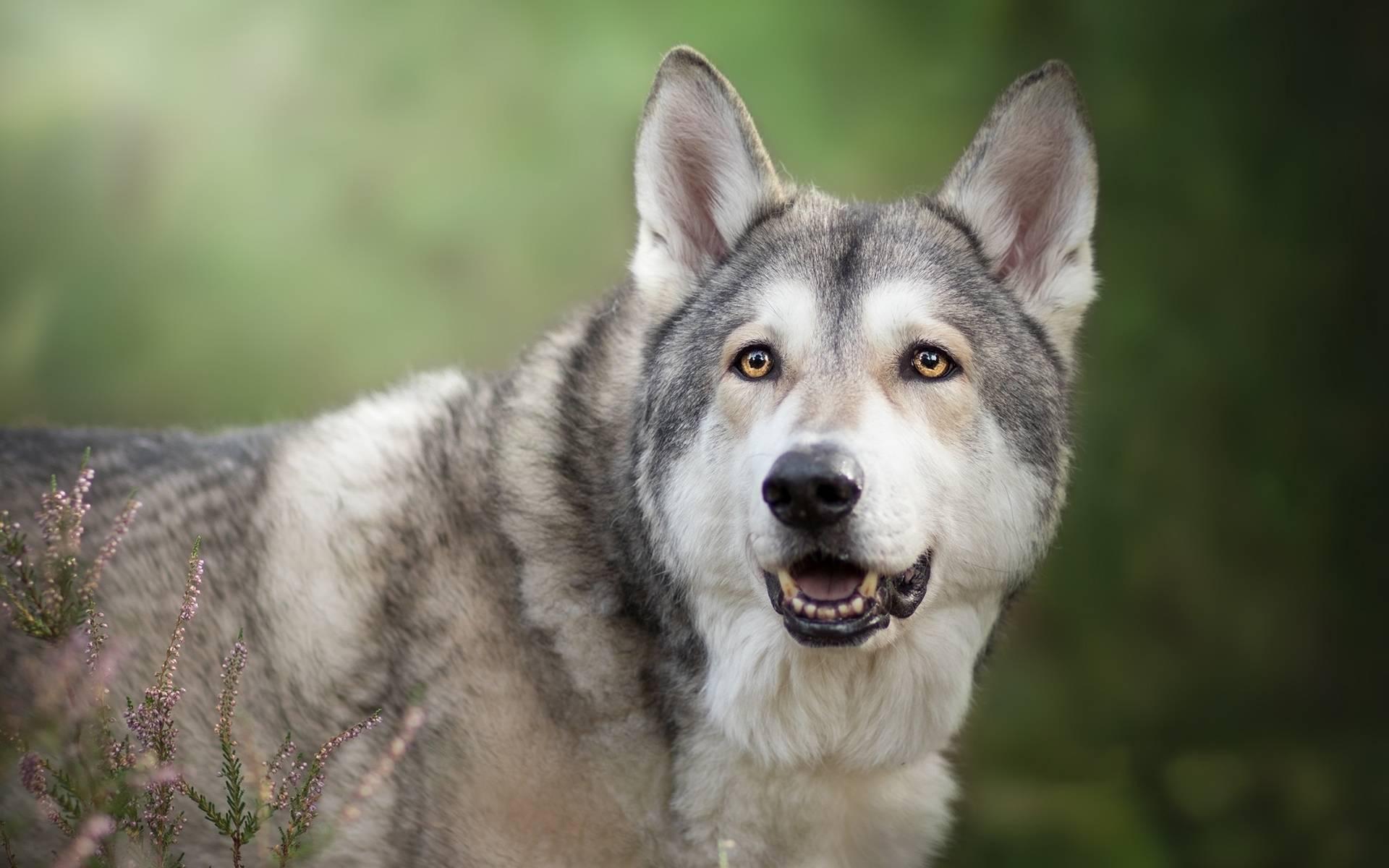 Волкособ – фото, описание, характер, содержание, питание, купить