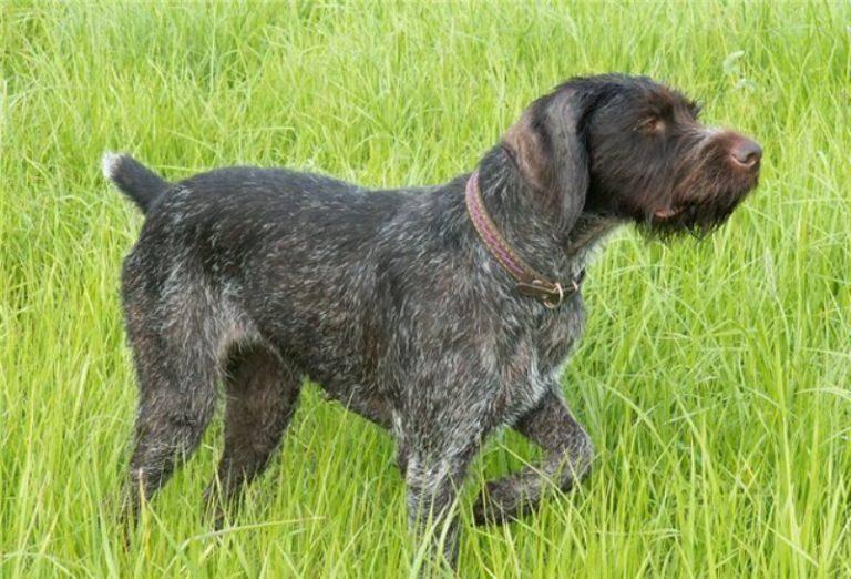 Дратхаар собака. описание, особенности, уход и цена дратхаара   sobakagav.ru