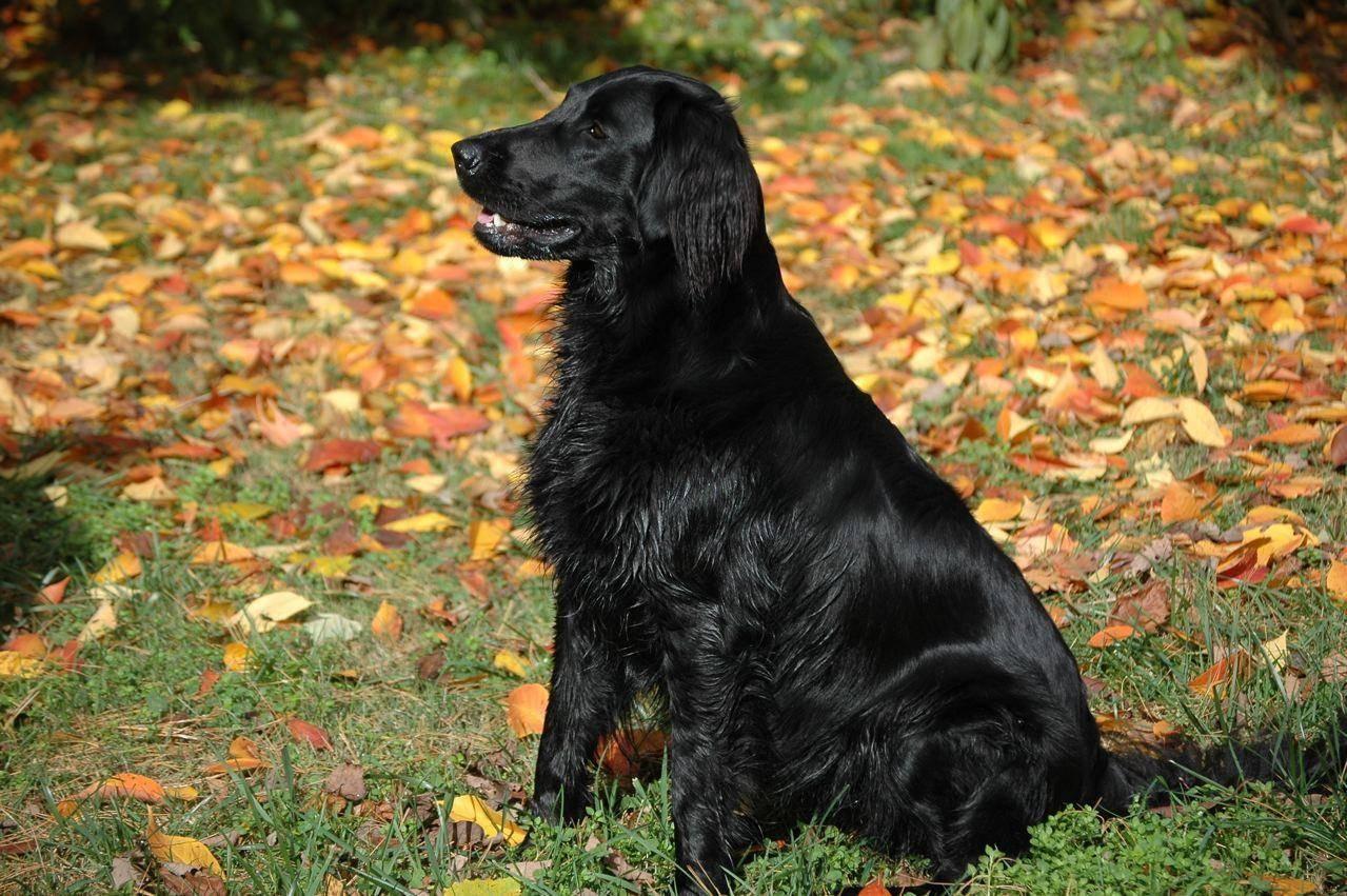 10 пород собак, которые бывают редкого — голубого окраса