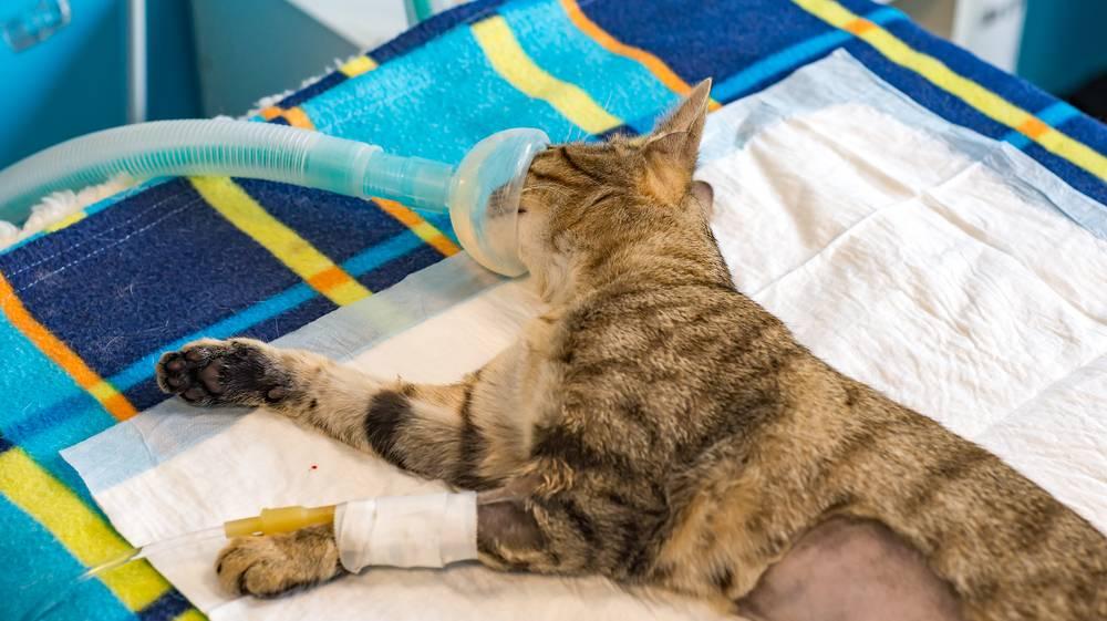 Уход за кошкой после стерилизации: полостной или лапароскопической