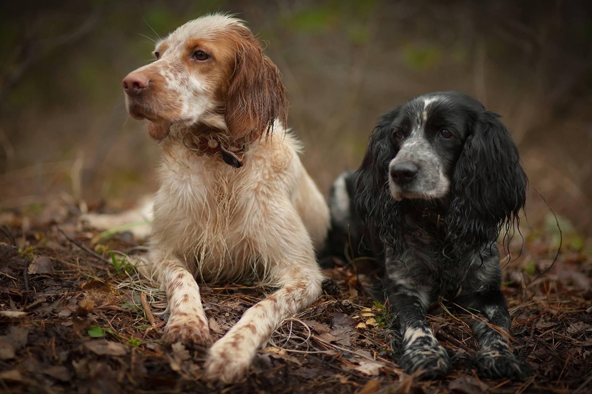 Охотничьи породы собак: топ 20 лучших псов для охоты