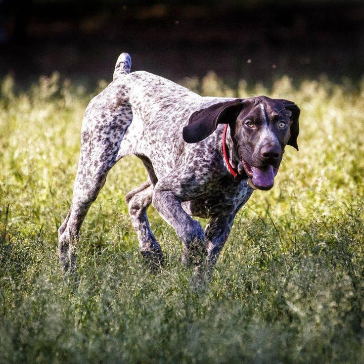 Характеристика веймарской легавой породы собак: особенности внешности