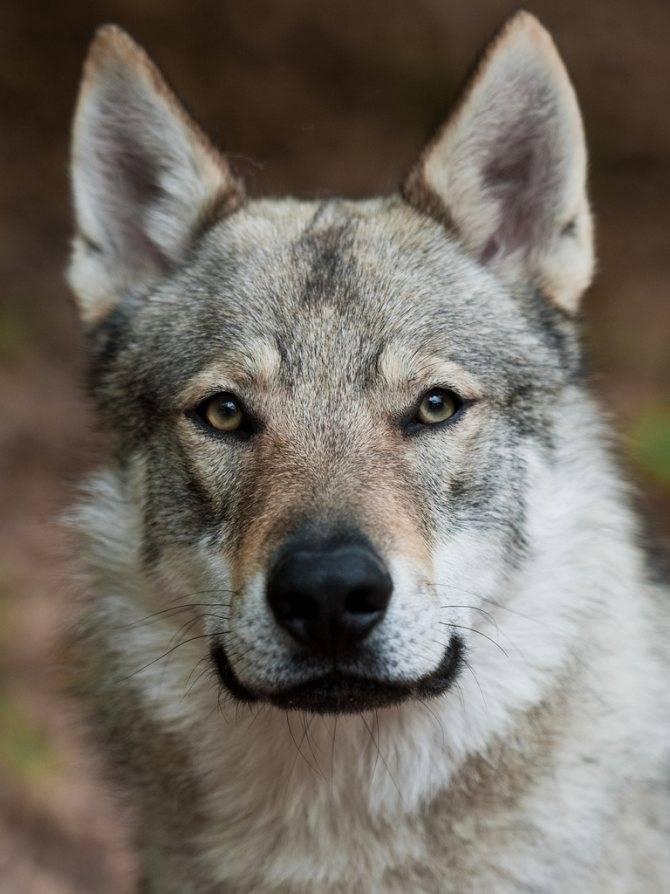 Собаки » породы » волкособ