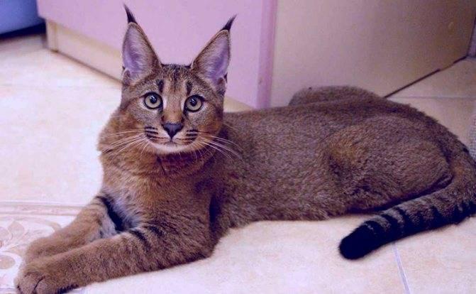 Каракал (кошка): фото, цена котенка, описание породы и уход