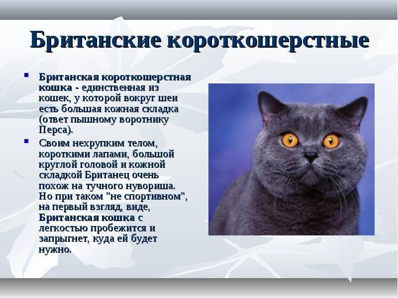 Британцы коты и кошки