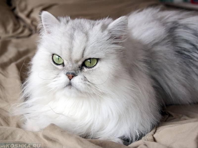 Кошка шиншилла - описание породы и характер кошки